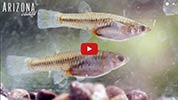 Click to view Arizona Illustrated Topminnow Broadcast