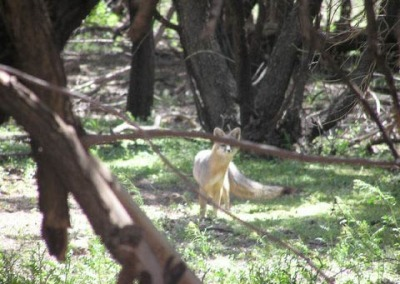 Fox in Cottonwood Trees