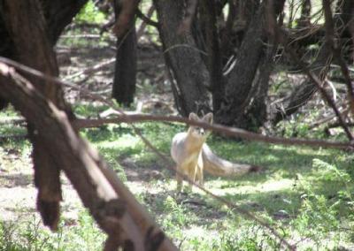 Fox in Cottonwood Trees